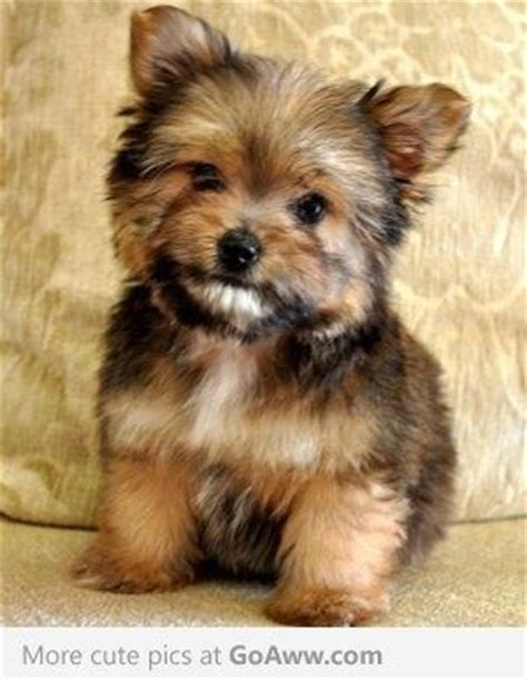 yorkie and husky mix aww it s a porkie pomeranian and yorkie mix i think i want one of these i want a