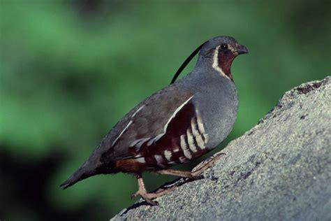 oreortyx pictus mountain quail