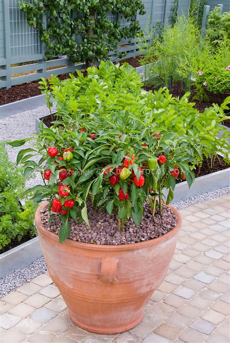 Vegetable Garden With Pot Of Red Peppers Plant Flower Pot Vegetable Garden