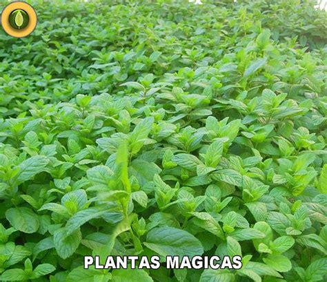 las plantas mgicas 8479100370 ecopirineus plantas magicas