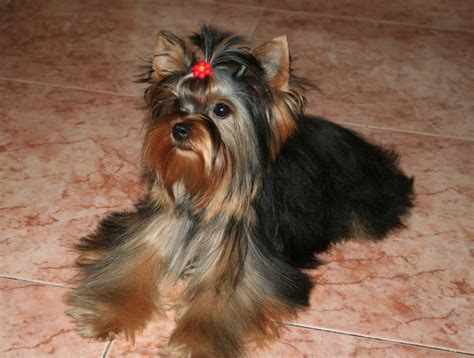 pet yorkie silver yorkie dogs pictures breeds picture