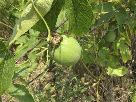 Passion Fruit Climbing Plant - oklahoma prairie country