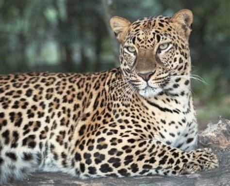 saving the snow leopards big cat rescue jade big cat rescue
