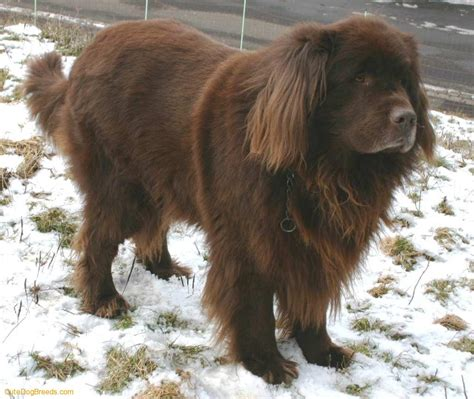 pictures of newfoundland dogs newfoundland picture