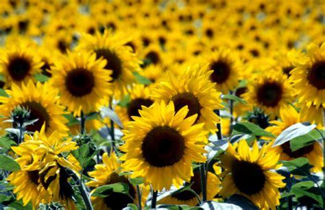 Image Helianthus Annuus Sunflower Biolib Cz
