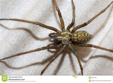 domestic house spider domestic house spider royalty free stock photo image 6861445