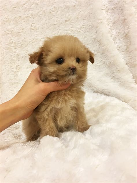 puppies for sale california teacup maltipoo puppy for sale california iheartteacups