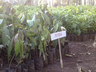 Harga Bibit Alpukat Okulasi athifa agro usaha dan budi daya bibit tanaman