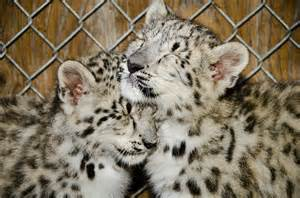 How Many Babies Can A Jaguar Meet The Adorable Snow Leopard Cubs At Seattle S Woodland