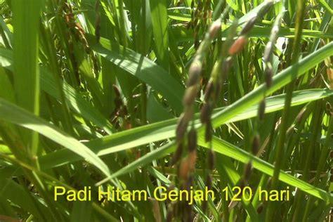 Timbangan Padi menanam padi hitam dalam pot inpapot di kota