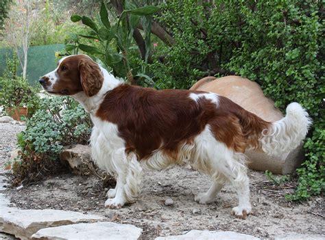 springer spaniel puppies wi springer spaniel