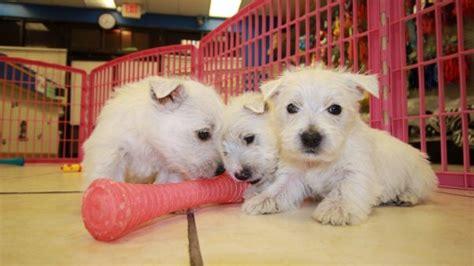 westie puppies for sale in ga precious white westie puppies for sale in at puppies for sale local breeders