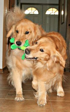 golden retriever timeline 1000 images about toys for golden retrievers on toys golden