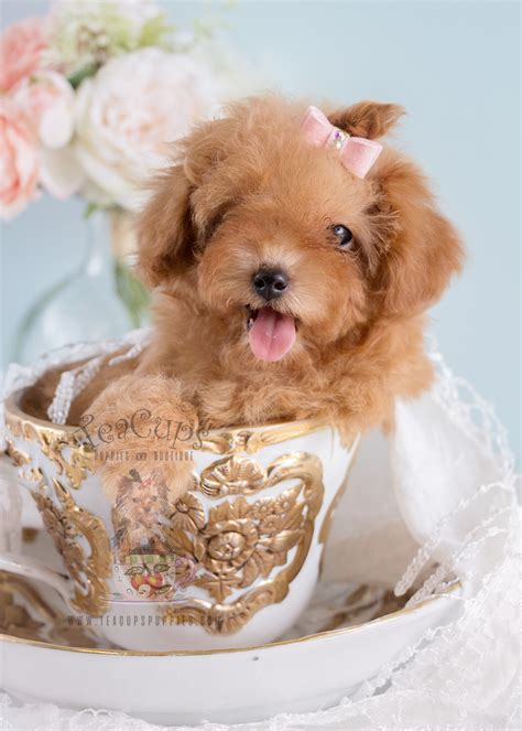poodle puppy for sale mixed breed and designer breed puppies for sale teacups puppies boutique