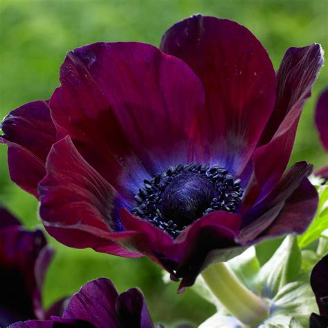 Home Decor With Flowers by Van Zyverden Wind Flowers Anemones Meron Bordeaux Bulbs