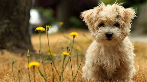 cutest puppy breed top 12 cutest breeds list listovative