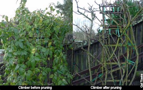 marin rose society pruning climbers