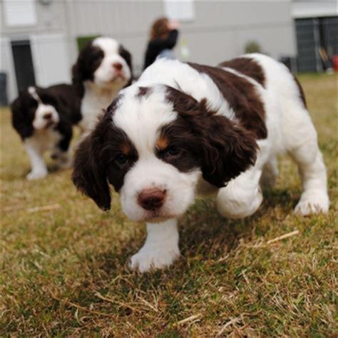 springer spaniel puppies sc view ad springer spaniel puppy for sale south carolina simpsonville