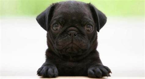 perros pug perros pug 161 todo sobre la raza pugs carlinos perros pug