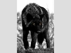 Rain Stone Quarantine, Female alpha of Rising Storm ... Growling Black Wolf With Yellow Eyes