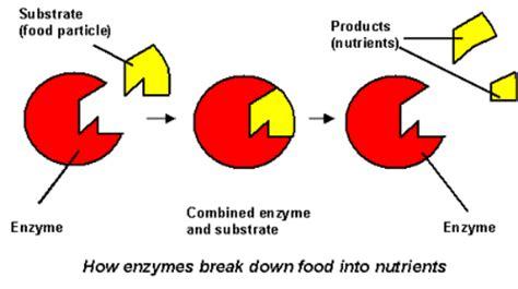 enzyme diagram healthy futures