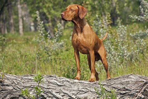 best bird dogs best bird breed goldenacresdogs