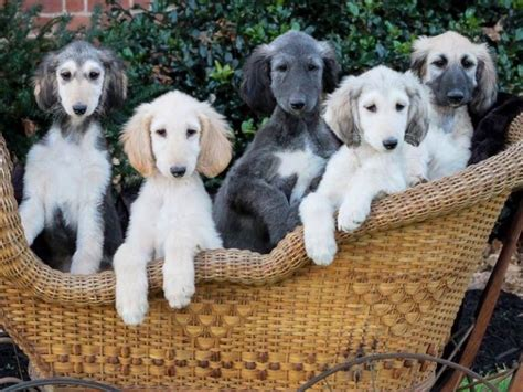 akc afghan hound puppies for sale winterberry afghan hounds puppies for sale