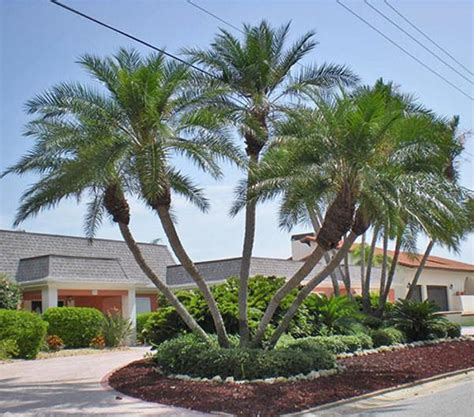 types of trees palm tree types florida pictures reference