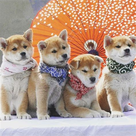 shiba inu puppies mn 25 best ideas about shiba inu breeders on japanese akita akita and akita