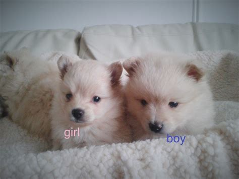 pomeranian spitz puppies for sale pomeranian spitz puppies for sale inverness inverness shire pets4homes