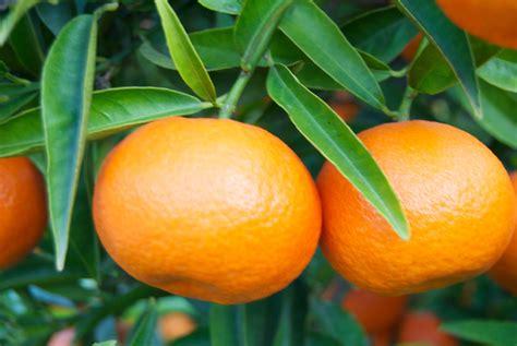 un beso de mandarina sabor de la mandarina poblana es 250 nico en el mundo panorama agrario
