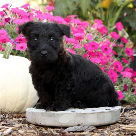 scottish terrier puppies for sale in pa susan scottish terrier puppy for sale in pennsylvania