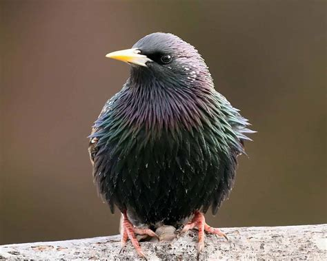 hd wallpapers starling bird wallpapers