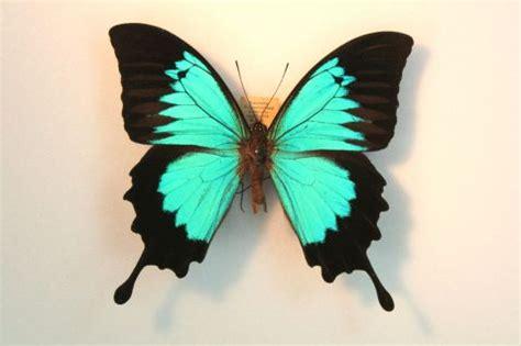 imagenes mariposas raras mariposas exoticas imagui