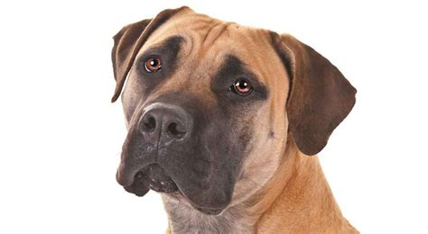 akc ranking south boerboel africans and dogs on