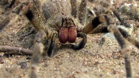 could spider venom be the next viagra daily mail online new viagra could be made from spider venom