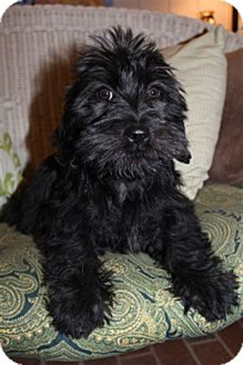 shih tzu rescue glasgow armani adopted puppy greenville va scottie scottish terrier shih tzu mix