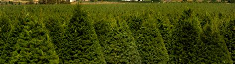 christmas tree farms near mt hood visit the best tree farms in oregon s mt territory