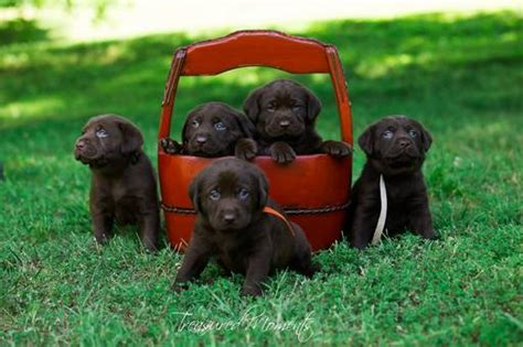 puppies for sale in huntington wv view ad labrador retriever puppy for sale west virginia huntington