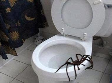 big spider in bathroom best 25 giant huntsman spider ideas on pinterest largest huntsman spider huntsman