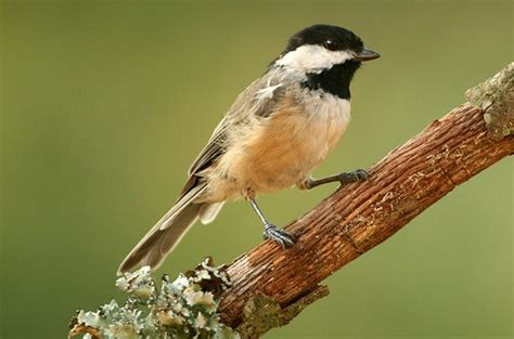 identify bird songs for the birds pinterest