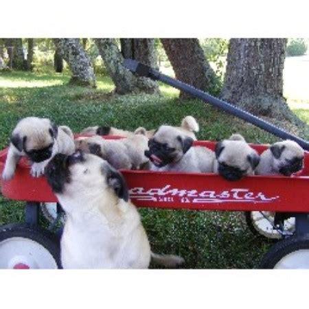 tennessee pug breeders pug breeder in kodak tennessee