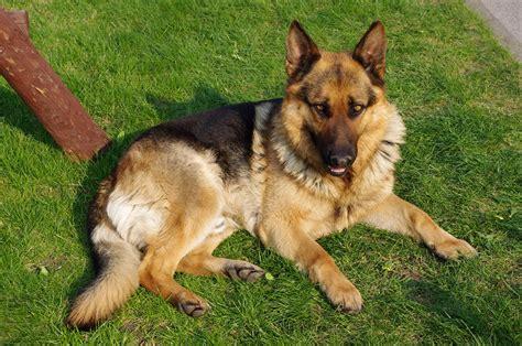 best german shepherd choosing the best german shepherd harness n treats