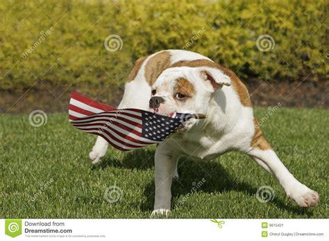 yankee doodle puppy yankee doodle doggie stock image image 9615421