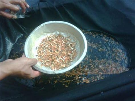 Jual Bibit Ikan Lele Murah Surabaya nabila farm pusatnya jual benih dan bibit ikan murah