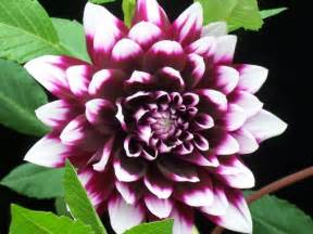 blumen le amazing garden the meaning of dahlia flower
