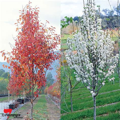 ornamental pear manchurian pear perth wa