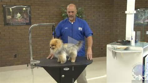 how is a pomeranian 12 minutes the pet pomeranian into a teddy styled trim learn2groomdogs
