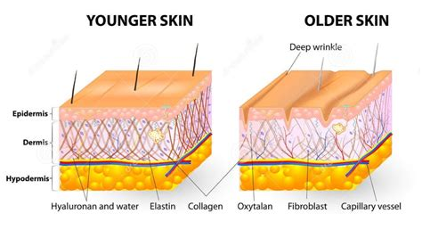 Laptops The New Cause Of Skin Aging by The Anatomy Aging Skin Live Ultra Healthy