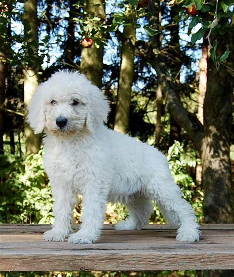 goldendoodle puppy aggressive goldendoodle puppies for sale